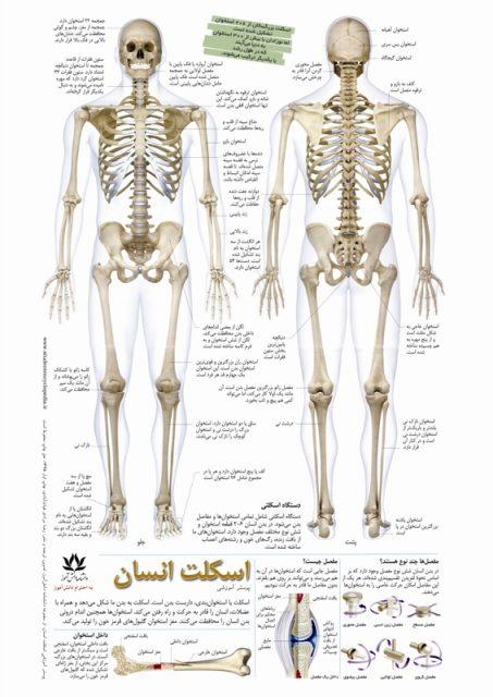 پوستر اسکلت و استخوان بندی انسان