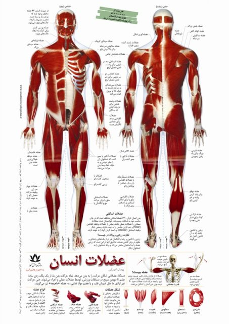 چارت مدرسه عضلات انسان
