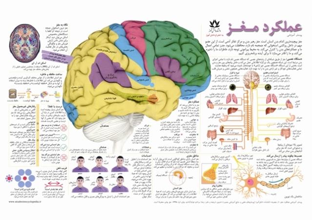 پوستر پزشکی و آموزشی عملکرد مغز