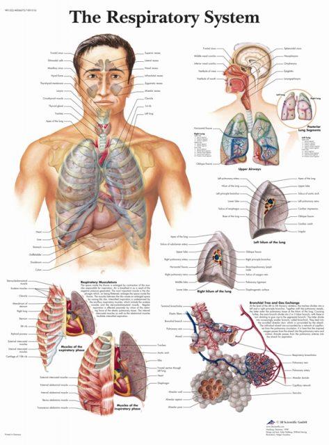 پوستر پزشکی و بیمارستانی دستگاه تنفسی به زبان انگلیسی