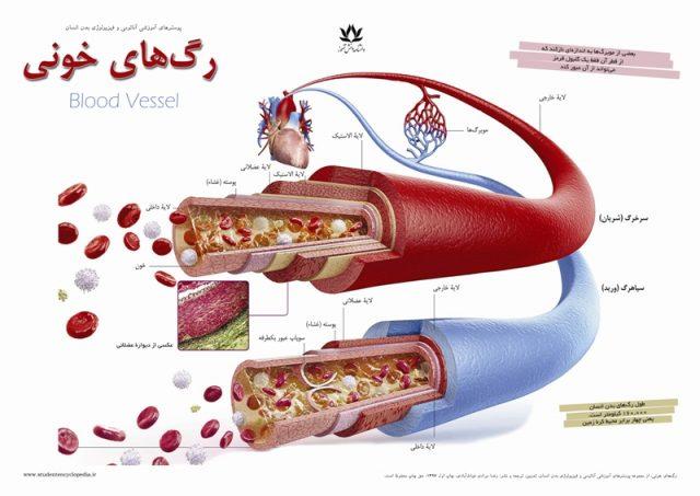 پوستر رگ های خون