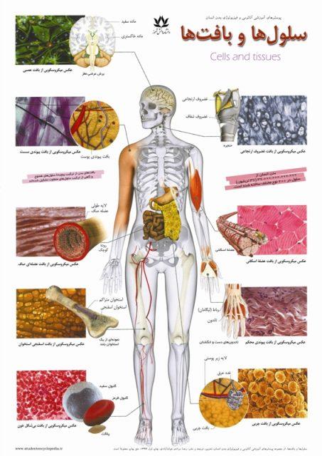 پوستر سلول ها و بافت های بدن انسان