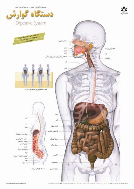 چارت پوستر دستگاه گوارشی / دستگاه هاضمه