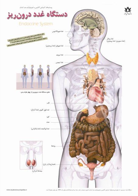 پوستر آناتومی دستگاه غدد درون ریز