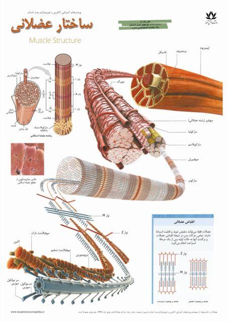 فروش پوستر ساختار عضلات و ماهیچه