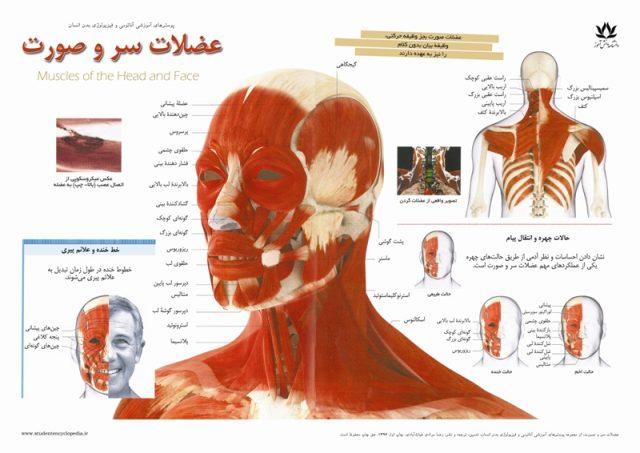 پوستر فیزیولوژی عضلات و ماهیچه های سر و صورت و گردن