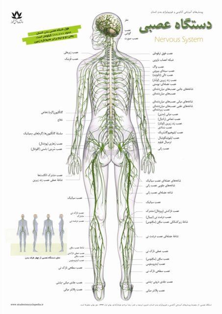 پوستر سیستم عصبی