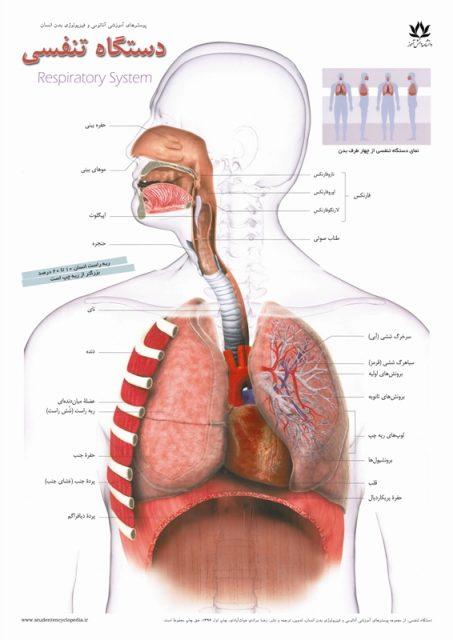 پوستر پزشکی آناتومی دستگاه تنفسی و ریه و شش