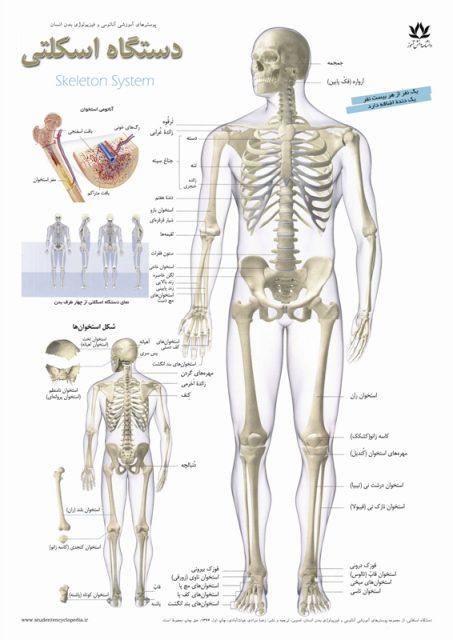 چارت پوستر دستگاه اسکلتی - استخوان