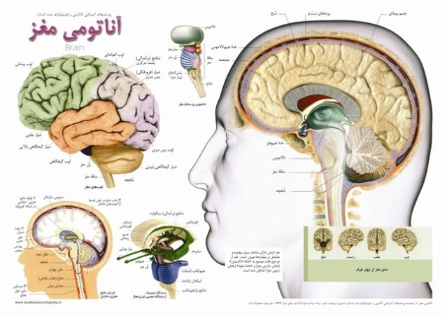 پوستر آناتومی مغز انسان