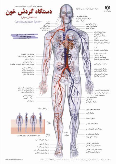 پوستر آناتومی دستگاه گردش خون