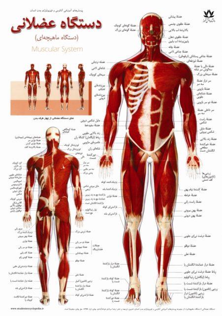 پوستر دستگاه ماهیچه ای یا سیستم عضلات