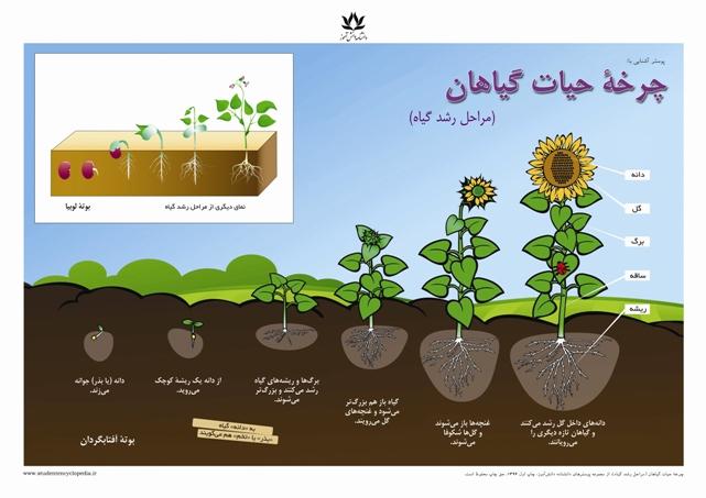 پوستر چرخه حیات گیاهان - مراحل رشد گیاه برای درس علوم کلاس دوم دبستان