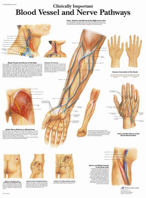 پوستر پزشکی رگ های بالینی و اعصاب محیطی