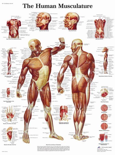 پوستر عضلات انسان یا دستگاه عضلانی