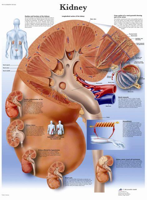 پوستر آناتومی کلیه