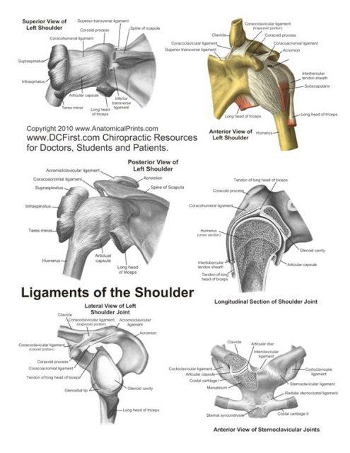 پوستر آناتومی رباطها یا لیگامانهای شانه