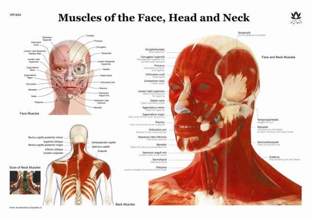 پوستر عضلات سر و صورت و گردن