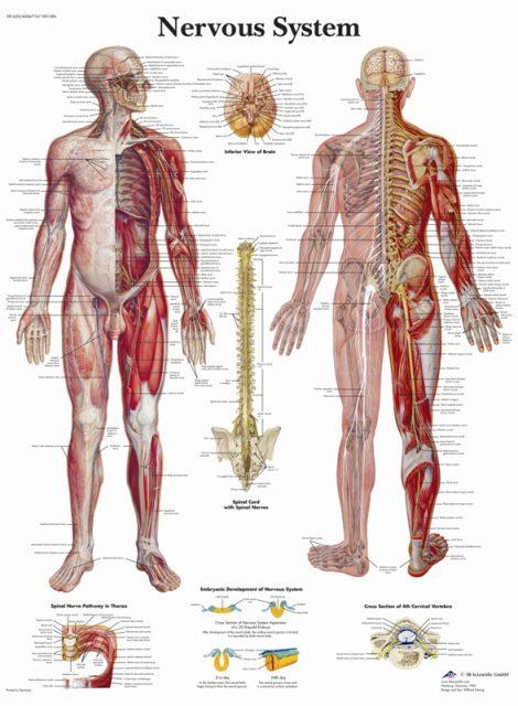 پوستر دستگاه عصبی