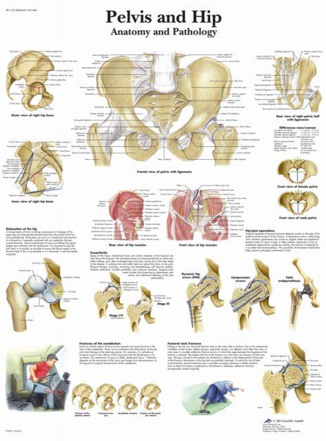 پوستر آناتومی لگن