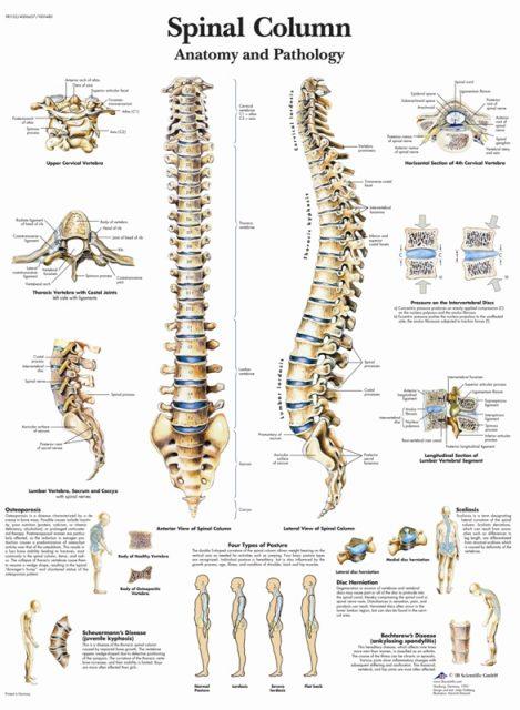 پوستر آناتومی ستون فقرات - Spinal Column Poster