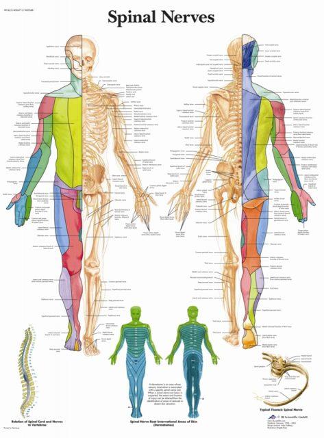 پوستر دستگاه عصبی نخاعی - Spinal Nerves Poster