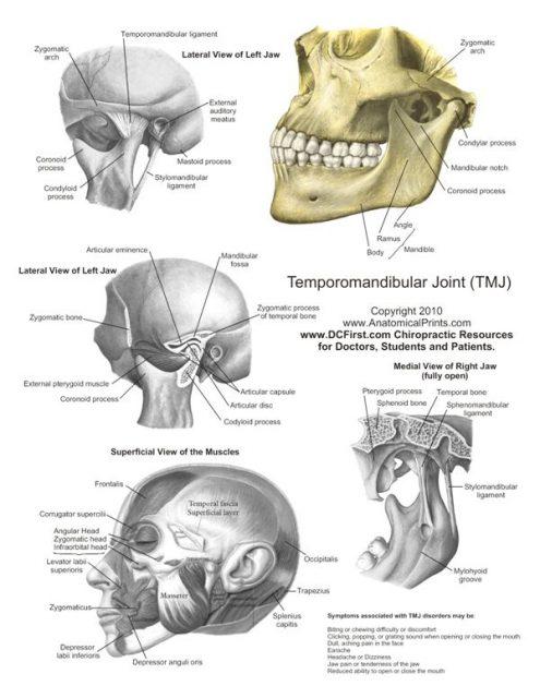 پوستر آناتومی فک و مفصل گیجگاهی