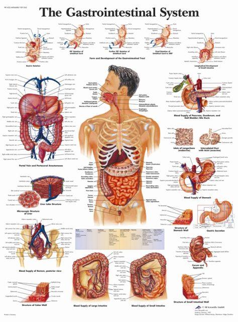 وستر آناتومی دستگاه گوارشی