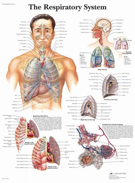 پوستر دستگاه سیستم تنفسی