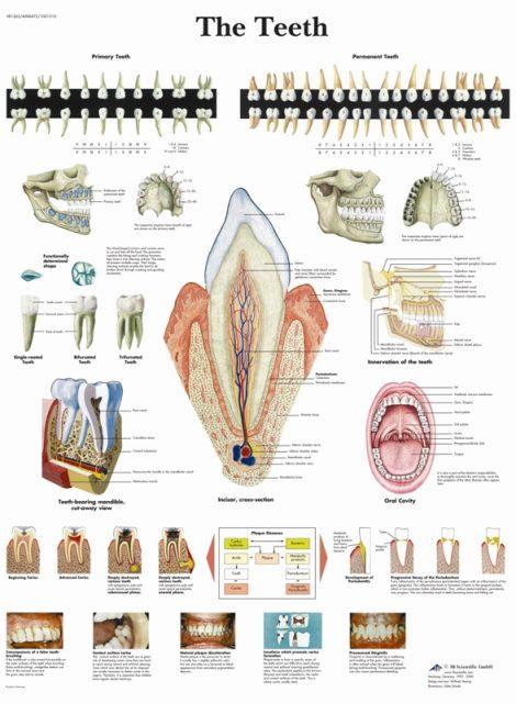 پوستر دندان و بیماریهای دندان