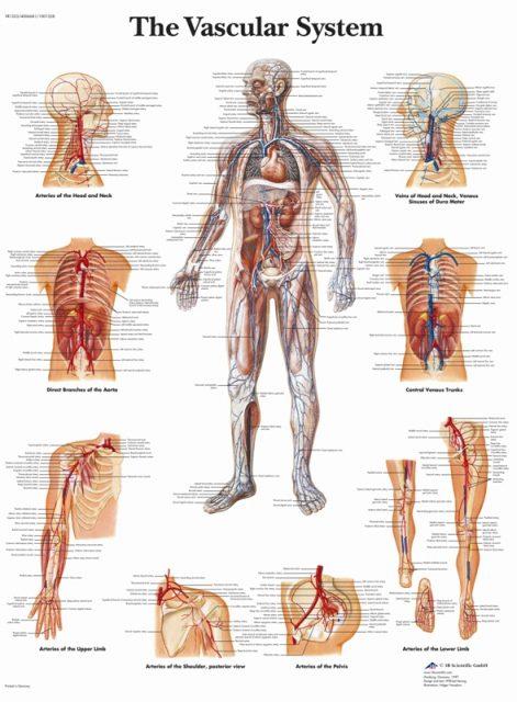 پوستر دستگاه گردش خون - سیستم قلبی عروقی