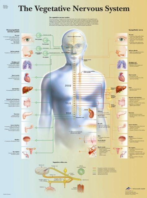 پوستر سیستم عصبی غیر ارادی یا خودکار