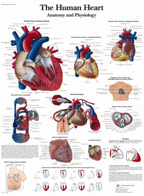 پوستر آناتومی و پاتولوژی قلب - The Human Heart Poster