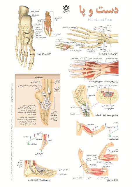 پوستر آموزشی دست و پا - استخوان و تاندون