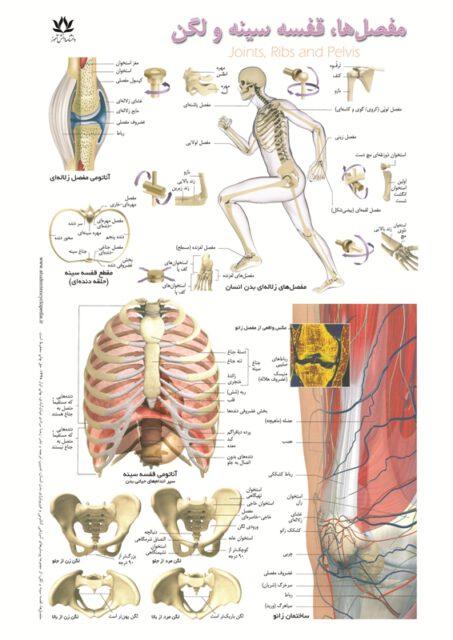 پوستر آموزشی مفاصل، قفسه سینه و لگن