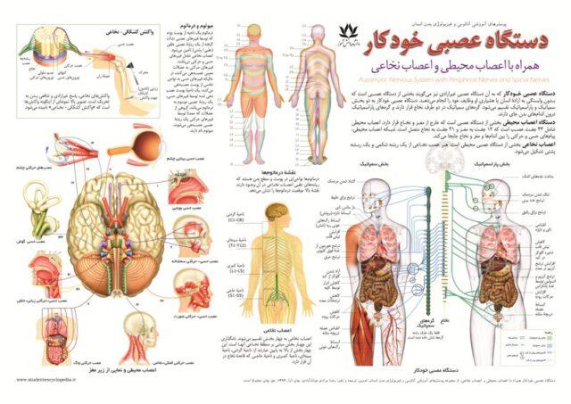 پوستر آموزشی دستگاه عصبی خودکار (غیرارادی) همراه با دستگاه عصبی محیطی و اعصاب نخاعی