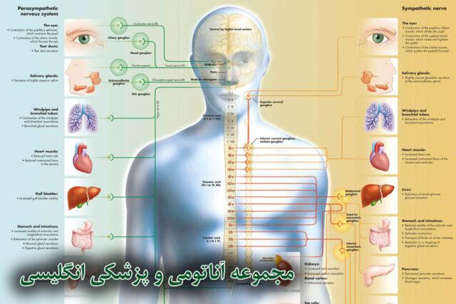 پوستر آناتومی بدن انسان و پزشکی به زبان انگلیسی